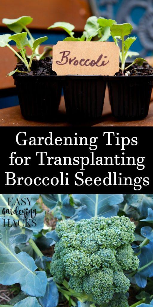 Gardening Tips for Transplanting Broccoli Seedlings