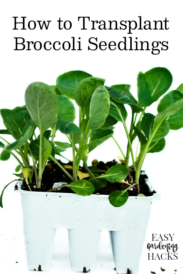 How to Transplant Broccoli Seedlings to Your Garden