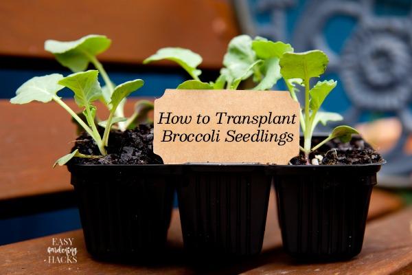 How to Transplant Broccoli Seedlings