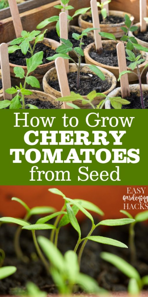 Gardening Tips for Growing Cherry Tomatoes from Seed