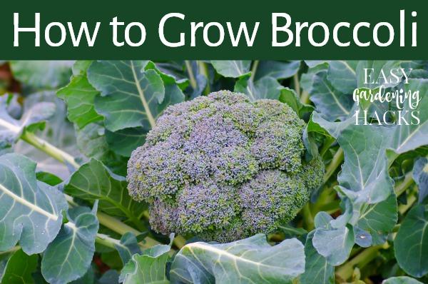 Growing Broccoli in Your Garden
