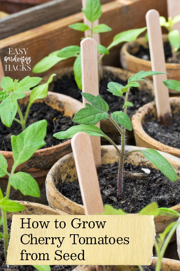 Growing Cherry Tomatoes from Seed