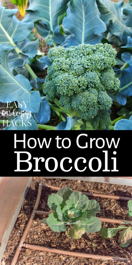 Tips for Growing Broccoli in your garden this summer.