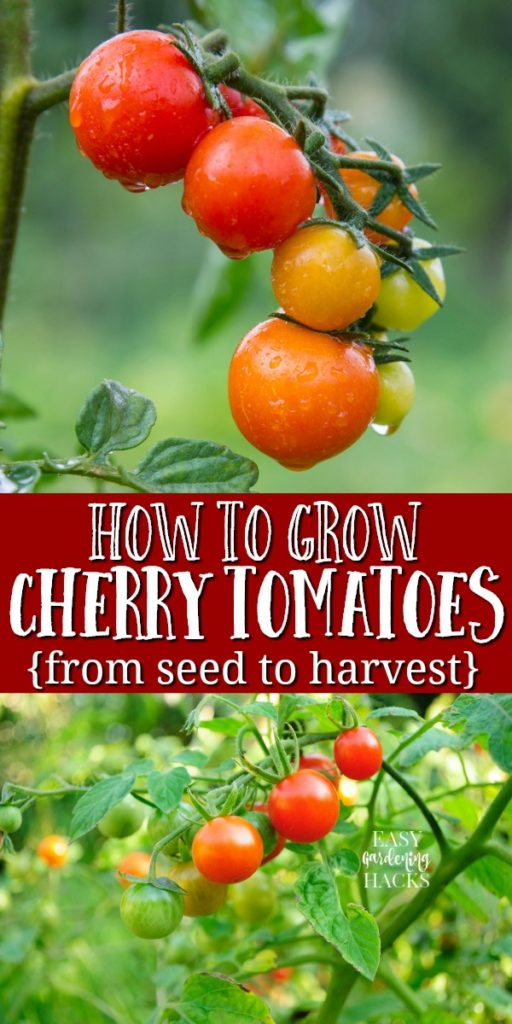 growing cherry tomatoes from seed to harvest