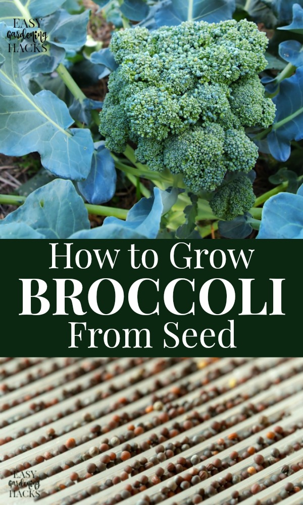 how to grow broccoli from seed indoors and direct sow