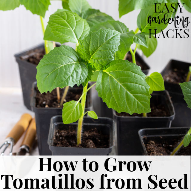 How to Grow Tomatillos from Seed
