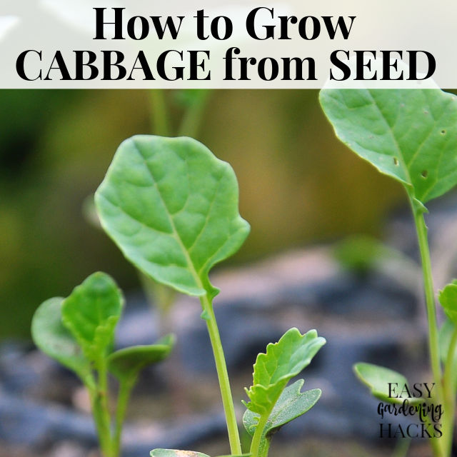 How to Grow Cabbage from Seed
