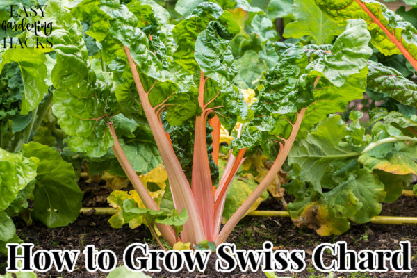 Rainbow Chard plants growing in a vegetable garden.