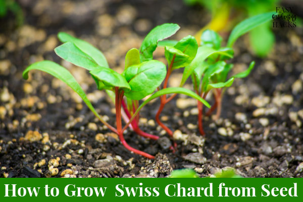 How to Grow Swiss Chard From Seed