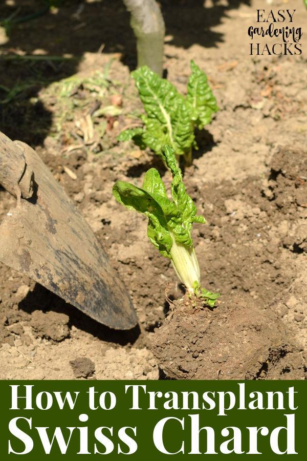 How to Transplant Swiss Chard Seedlings