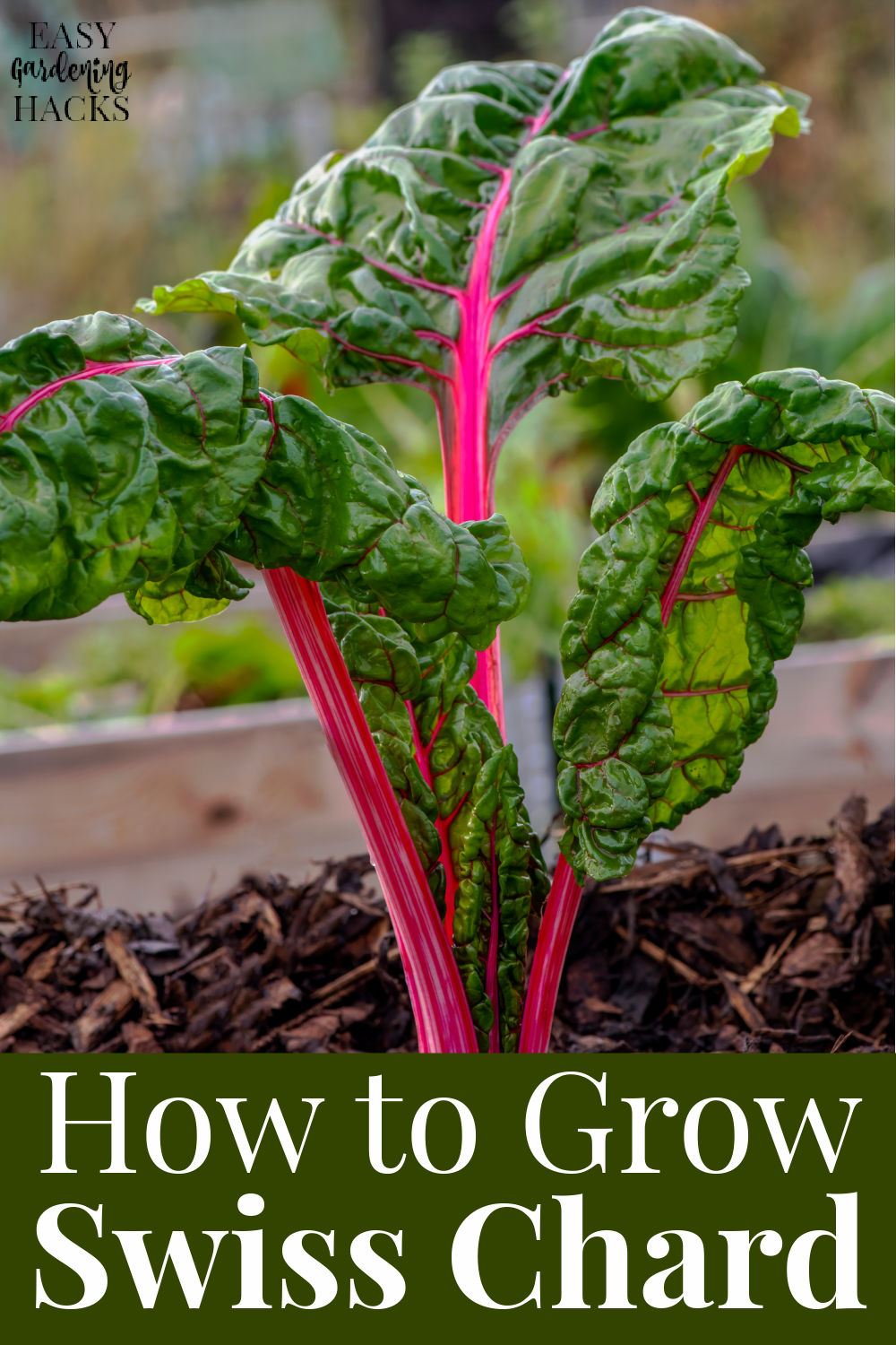 Swiss chard plant growing in a raised garden bed.