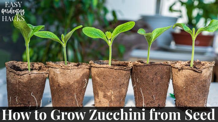 Zucchini seedlings in cardboard pots.
