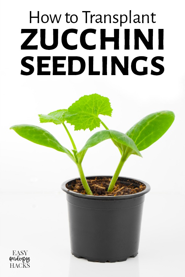 zucchini seedlings in a pot, on white background