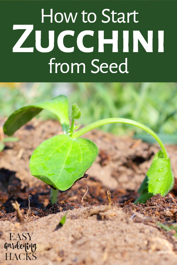 tarting Zucchini from Seed