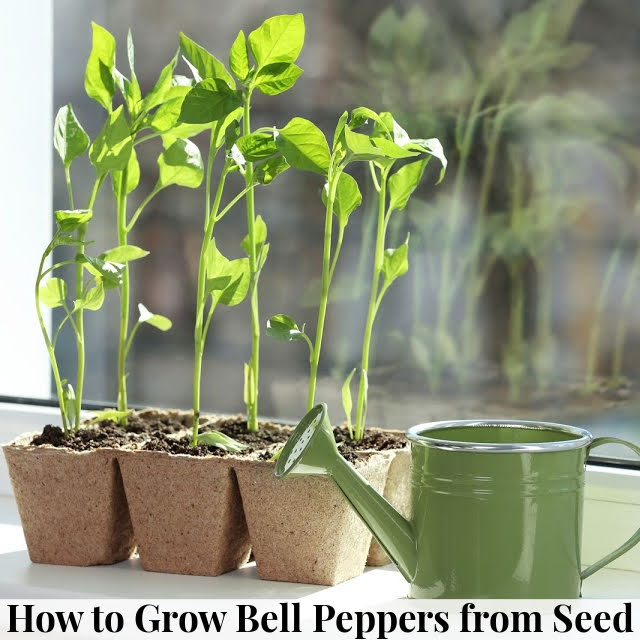 How to Grow Bell Peppers from Seed