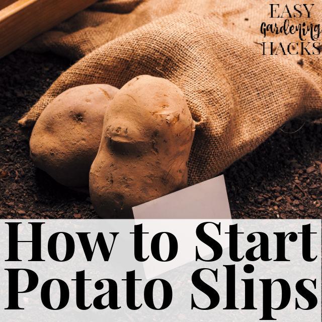 How to Start a Potato Slip