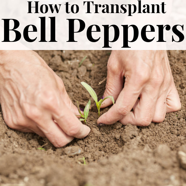 How to Transplant Bell Peppers